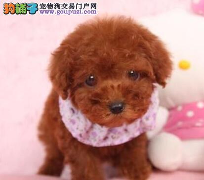 出售多只纯正韩系拉萨泰迪犬 可办理血统证书血统纯正