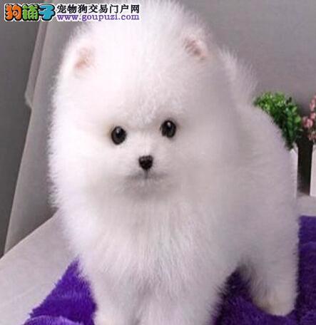 实体店转让哈多利博美犬武汉周边购犬送狗粮