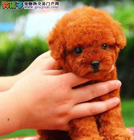 正规犬舍直销可爱韩国血统泰迪犬 可来重庆上门购买