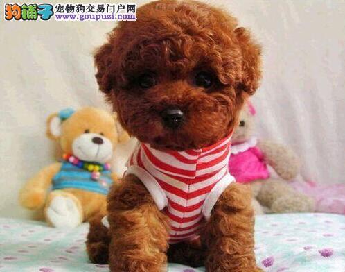 茶杯玩具血系的温州泰迪犬找新家 听话乖巧上门购犬