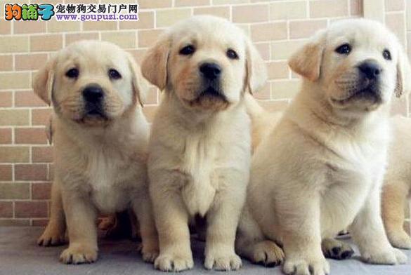 纯种赣州拉布拉多犬转让疫苗齐全售后完善