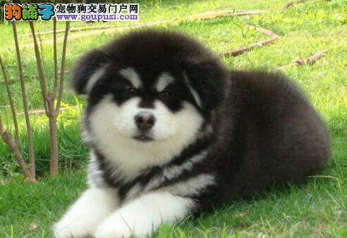 纯种健康的呼和浩特阿拉斯加犬出售中 保障售后完善