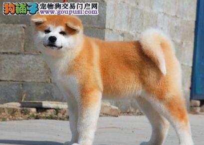 天津出售极品秋田犬幼犬完美品相诚信经营良心售后