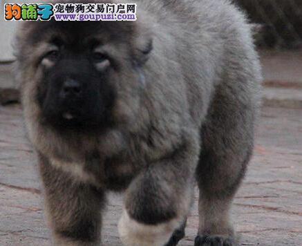 高大威猛,高加索犬,2到3个月