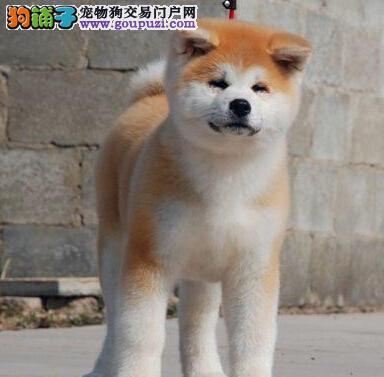出售纯种健康的武汉秋田犬幼犬CKU认证品质绝对保障