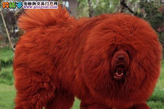 武汉热卖藏獒多只挑选视频看狗武汉市内免费送货