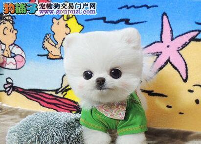 专业繁殖沈阳博美犬出售质量有保证接受预定