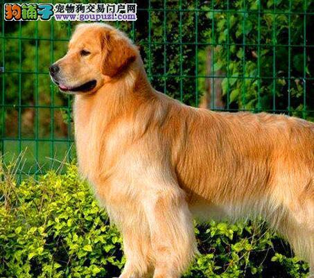 出售高智商纯种金毛犬可爱健康活泼包售后欢迎来场挑选