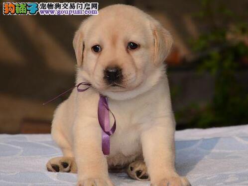 金昌繁殖出售纯种拉布拉多幼犬找个好主人带走导盲犬