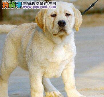 南京专业繁殖高品质拉布拉多幼犬出售 上门可见狗父母