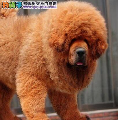 出售纯种健康的藏獒幼犬假一赔万签活体协议