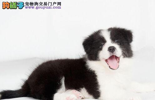 火爆热卖多只纯种健康的边境牧羊犬 南京市内可送货