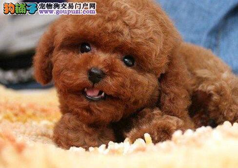 上海犬舍热卖可爱韩系泰迪犬 做齐三针疫苗双血统