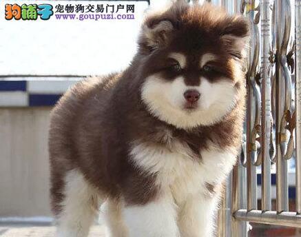 郑州犬舍出售纯种健康阿拉斯加犬 保障售后完善服务
