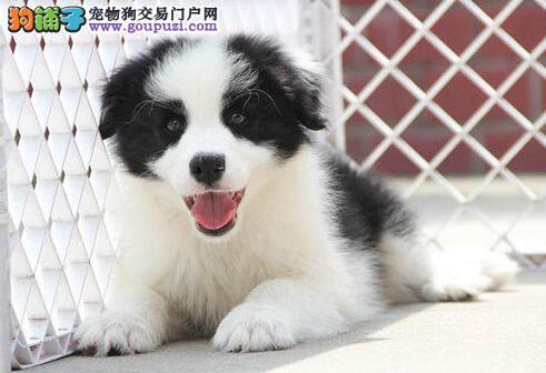 最适合老人养的狗狗 最听话懂事 西安边境牧羊犬直销