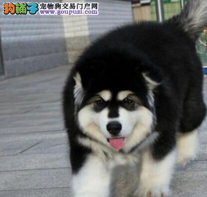 基地转让深圳阿拉斯加雪橇犬售后保障全面