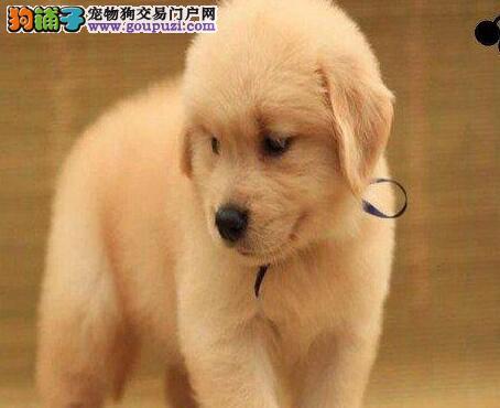 出售纯种健康的金毛幼犬金牌店铺有保障