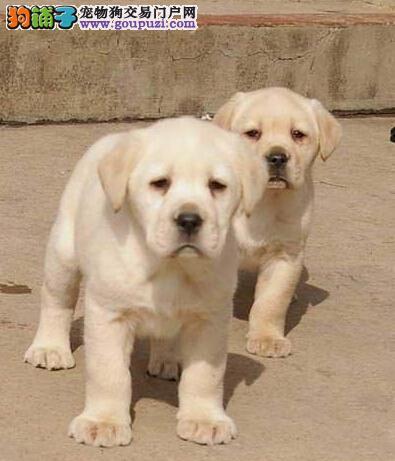 石家庄正规狗场直销拉布拉多犬 可随时上门选购幼犬