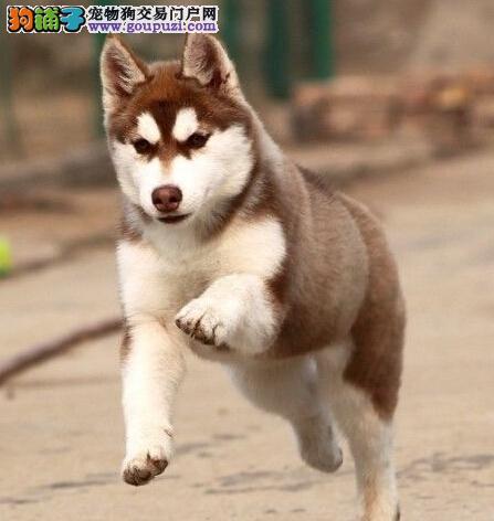 赛级品相哈士奇幼犬低价出售上门可见父母