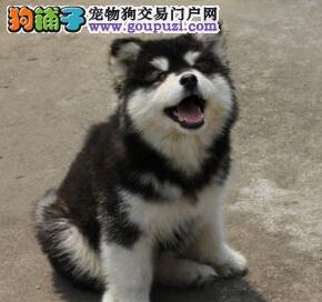 促销双十字阿拉斯加雪橇犬 哈尔滨当地狗场专业繁殖