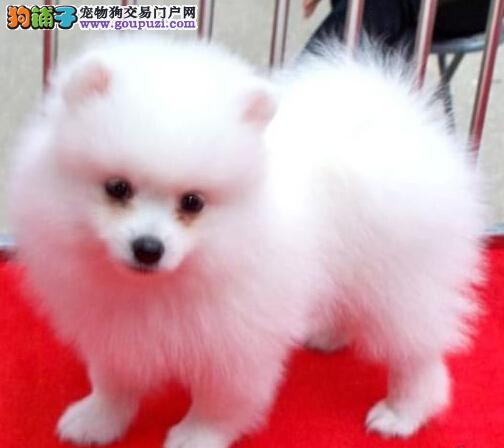 哈多利博美犬长春出售 超小型可爱活泼 喜欢的欢迎上门