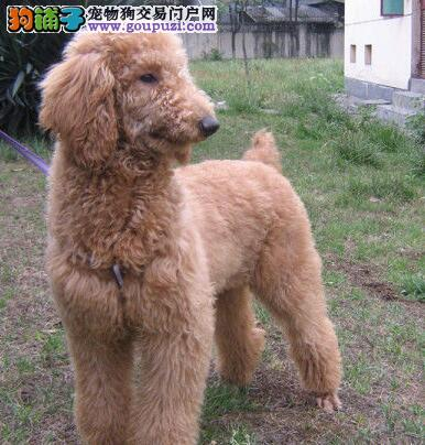 出售体型毛质好可爱的广州巨型贵宾幼犬 血统纯保健康