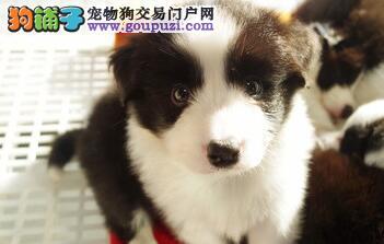 广州正规狗场直销边境牧羊犬 合同三包 免费送货上门