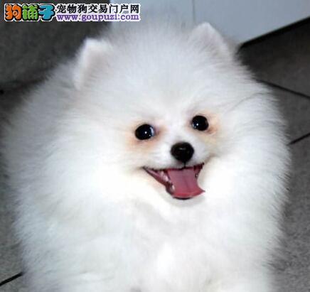 萌犬哈多利版血系广州博美幼犬低价出售 同城免费送货