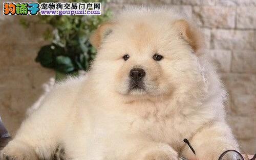 杭州哪里有松狮出售 松狮多少钱 杭州松狮怎么卖