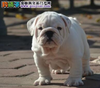 广州犬舍有精品憨厚敦实的斗牛犬出售 签订购犬协议