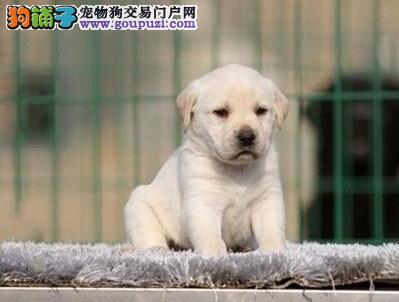 广州犬舍基地直销纯种拉布拉多幼犬 防疫做齐保障健康
