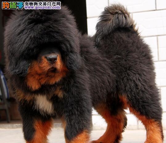 冠赛血统的藏獒幼崽找新主人 广州市内可免费送货