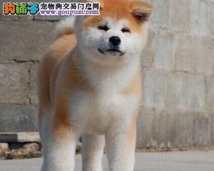海口犬业基地出售高品质秋田犬 活泼靓丽色泽纯正