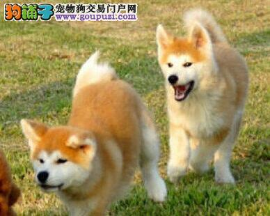 商丘最大犬舍出售多种颜色秋田犬一分价钱一分货