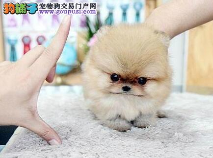 宜宾实体店低价促销赛级博美犬幼犬市内免费送货