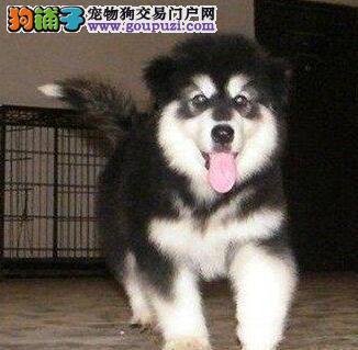 福州自家狗场出售双十字阿拉斯加雪橇犬 可接受预定