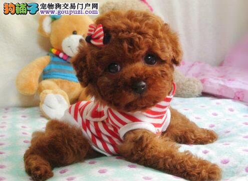 泰迪犬找新家、CKU认证血统纯正、诚信经营保障