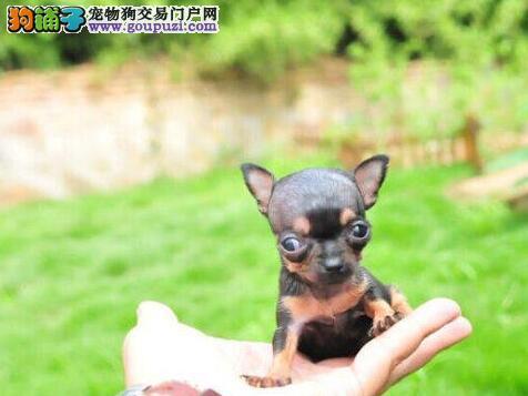 吉娃娃郑州CKU认证犬舍自繁自销以品质惊世人