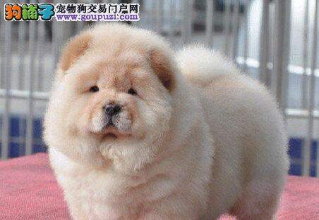 低价转让美系松狮犬广州地区上门购买可优惠