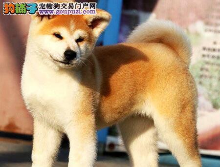 纯种秋田犬出售、品质极佳品相超好、全国空运到家