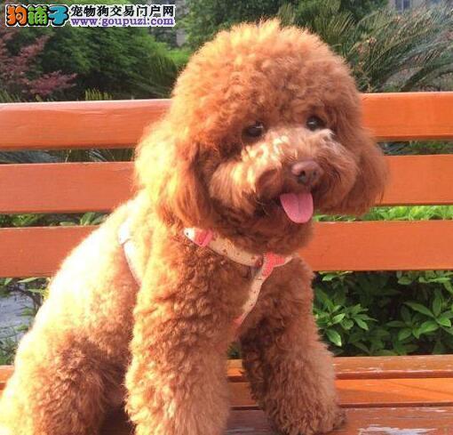 大型专业培育贵宾犬幼犬包健康专业品质一流