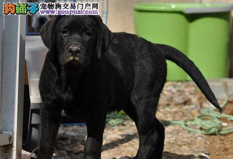 出售顶级冠军种犬后代南通拉布拉多犬 签合同包养活
