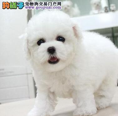 冰雪聪明卷毛棉毛糖法国比熊犬 郑州专业繁殖销售