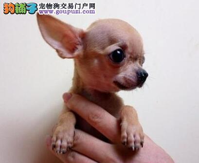 出售郑州超小型苹果头精神可爱吉娃娃 欢迎上门选购
