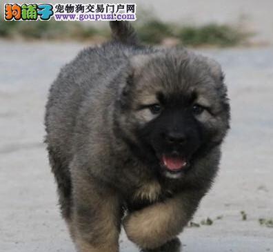 俄罗斯高品质高加索犬郑州热卖啦 疫苗齐可签合同质保