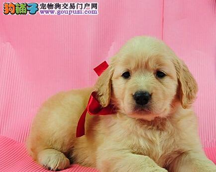 出售极品金毛幼犬完美品相喜欢的别错过