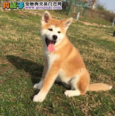特价出售郑州日系秋田幼犬 健康有保障,百分百物有所值