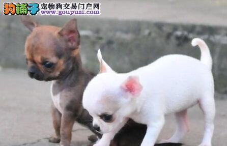 小体墨西哥吉娃娃幼犬 可见父母 签署协议 质保终身
