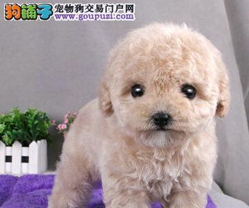 韩国赛级血统玩具白泰迪幼犬