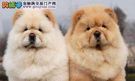 南京健康纯种的松狮幼犬出售 多窝可选 签订合同